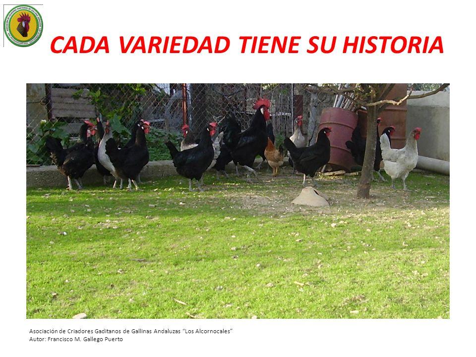 CADA VARIEDAD TIENE SU HISTORIA Asociación de Criadores Gaditanos de Gallinas Andaluzas Los Alcornocales Autor: Francisco M. Gallego Puerto