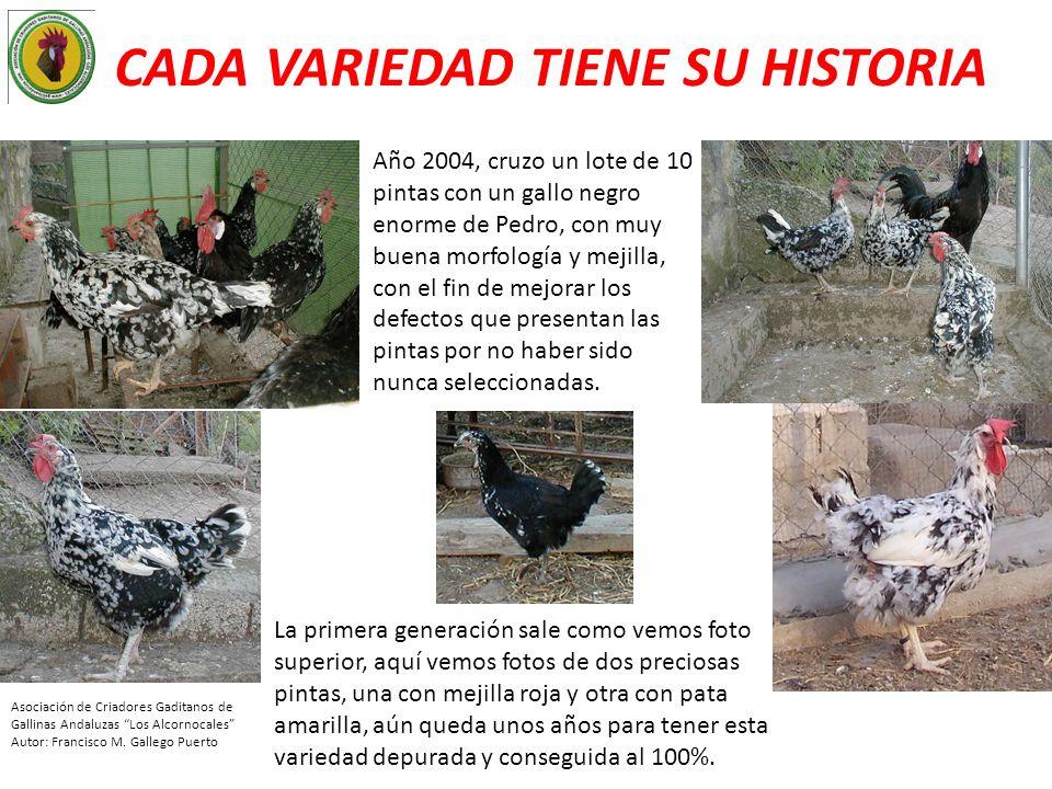 CADA VARIEDAD TIENE SU HISTORIA Año 2004, cruzo un lote de 10 pintas con un gallo negro enorme de Pedro, con muy buena morfología y mejilla, con el fi