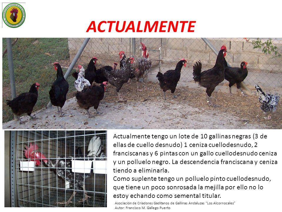 ACTUALMENTE Actualmente tengo un lote de 10 gallinas negras (3 de ellas de cuello desnudo) 1 ceniza cuellodesnudo, 2 franciscanas y 6 pintas con un ga