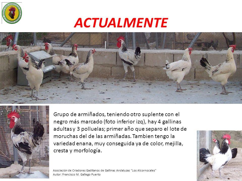 ACTUALMENTE Grupo de armiñados, teniendo otro suplente con el negro más marcado (foto inferior izq), hay 4 gallinas adultas y 3 polluelas; primer año