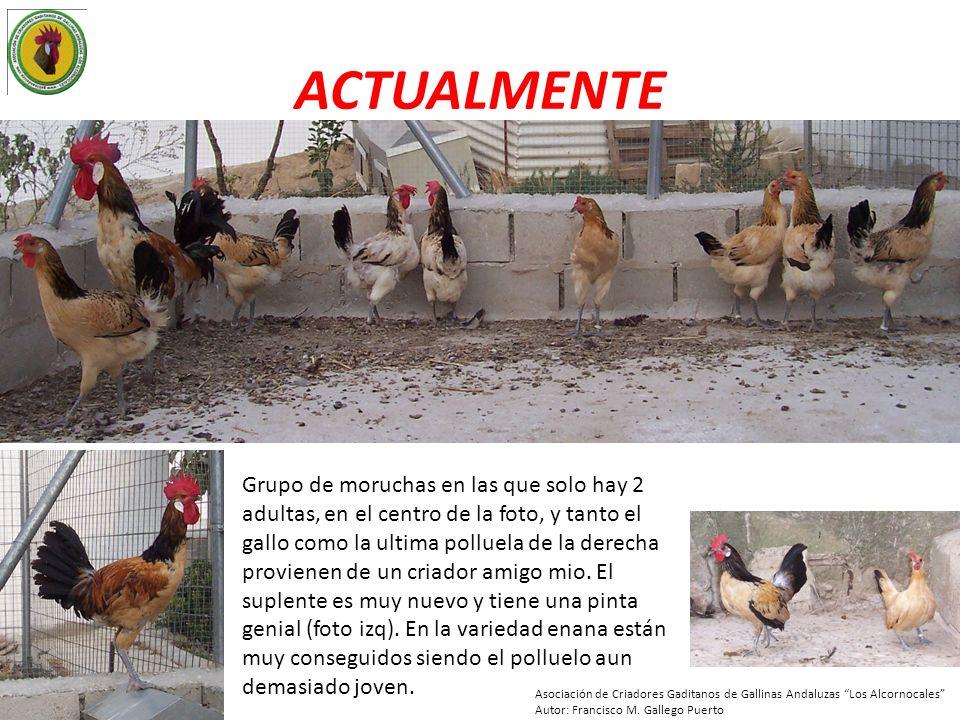 ACTUALMENTE Grupo de moruchas en las que solo hay 2 adultas, en el centro de la foto, y tanto el gallo como la ultima polluela de la derecha provienen