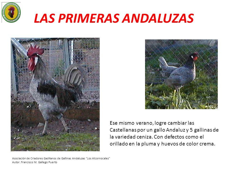LAS PRIMERAS ANDALUZAS Ese mismo verano, logre cambiar las Castellanas por un gallo Andaluz y 5 gallinas de la variedad ceniza. Con defectos como el o