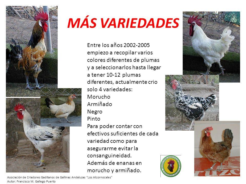 CADA VARIEDAD TIENE SU HISTORIA En el año 2005, recojo de mi amigo Pedro un pollo armiñado (foto izq) descendiente de un gallo de Rota, para cruzarlo con mis moruchas.