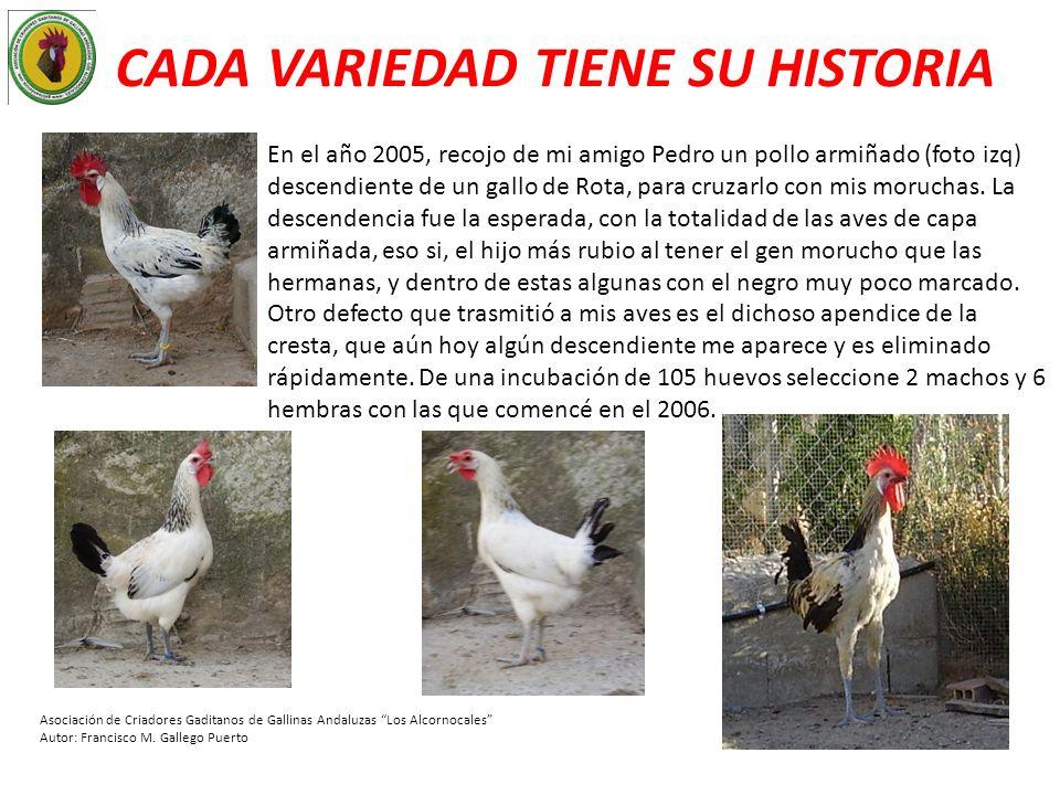 CADA VARIEDAD TIENE SU HISTORIA En el año 2005, recojo de mi amigo Pedro un pollo armiñado (foto izq) descendiente de un gallo de Rota, para cruzarlo