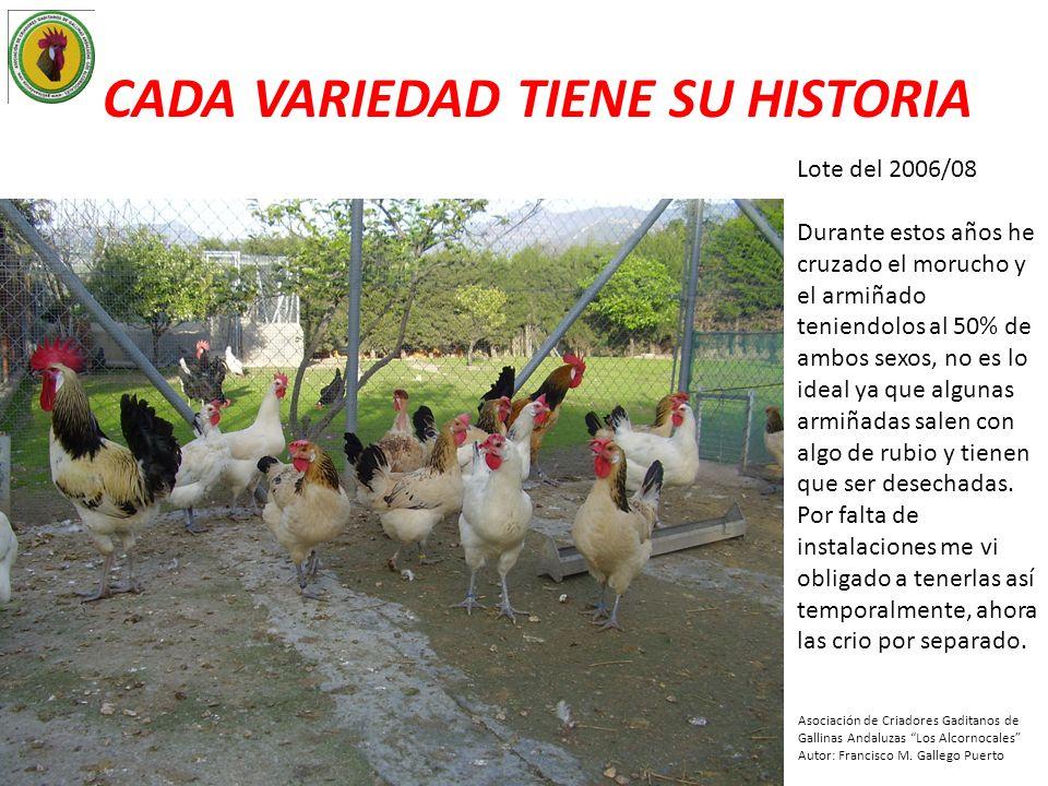 CADA VARIEDAD TIENE SU HISTORIA Año 2003, empiezo con mi color favorito, Morilla me regala un precioso gallo Morucho (abajo) Pedro una gallina (abajo izq) y el Pollero las 2 gallinas del centro.