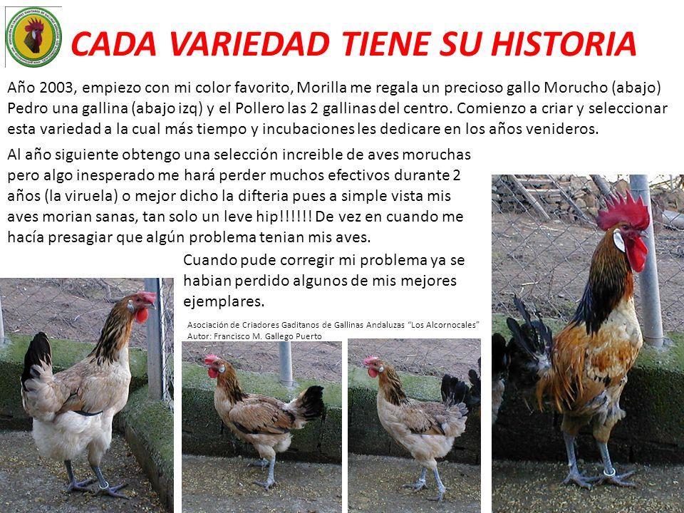 CADA VARIEDAD TIENE SU HISTORIA Año 2003, empiezo con mi color favorito, Morilla me regala un precioso gallo Morucho (abajo) Pedro una gallina (abajo