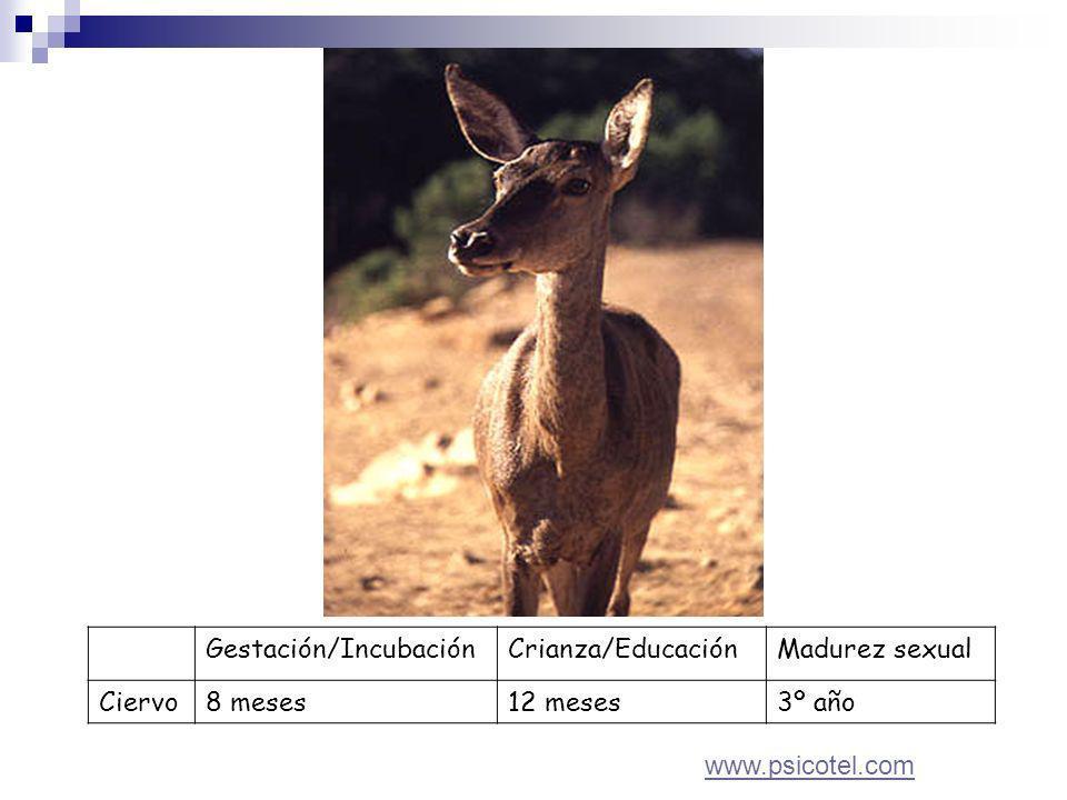 Gestación/IncubaciónCrianza/EducaciónMadurez sexual Ciervo8 meses12 meses3º año www.psicotel.com