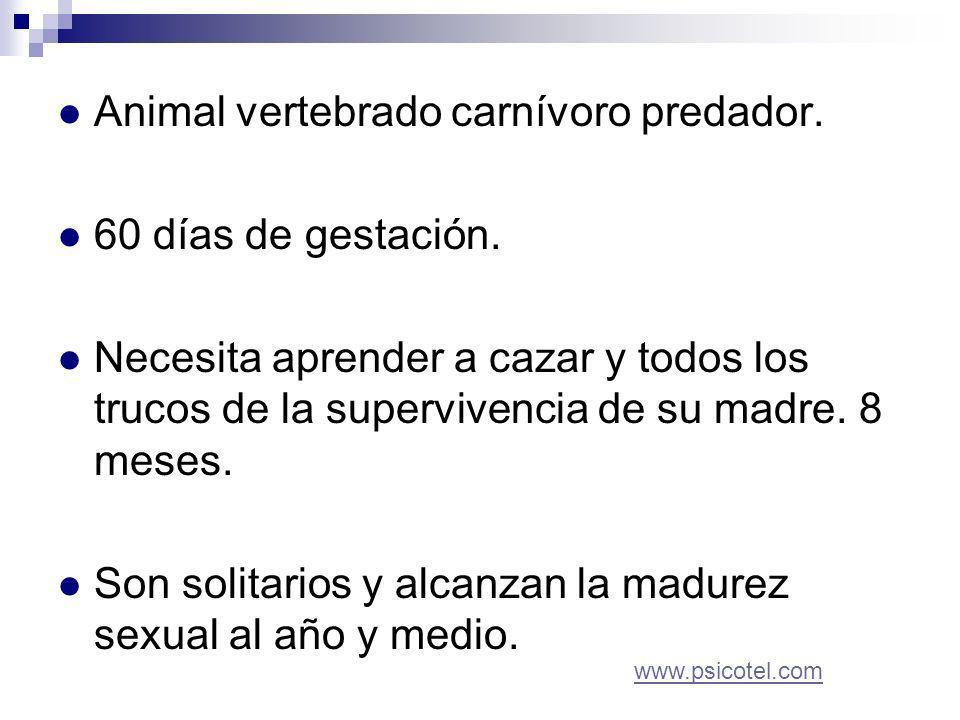 Animal vertebrado carnívoro predador. 60 días de gestación.