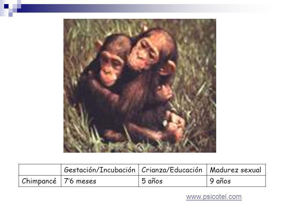 Gestación/IncubaciónCrianza/EducaciónMadurez sexual Chimpancé76 meses5 años9 años www.psicotel.com