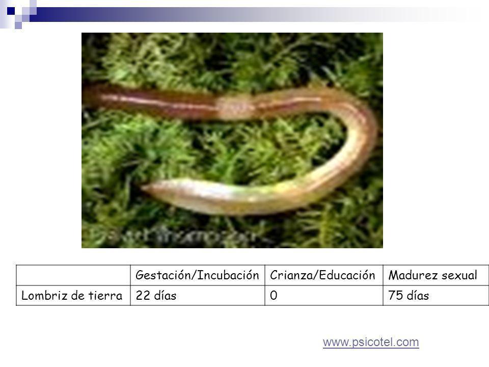Gestación/IncubaciónCrianza/EducaciónMadurez sexual Lombriz de tierra22 días075 días www.psicotel.com