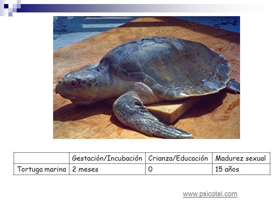 Gestación/IncubaciónCrianza/EducaciónMadurez sexual Tortuga marina2 meses015 años www.psicotel.com