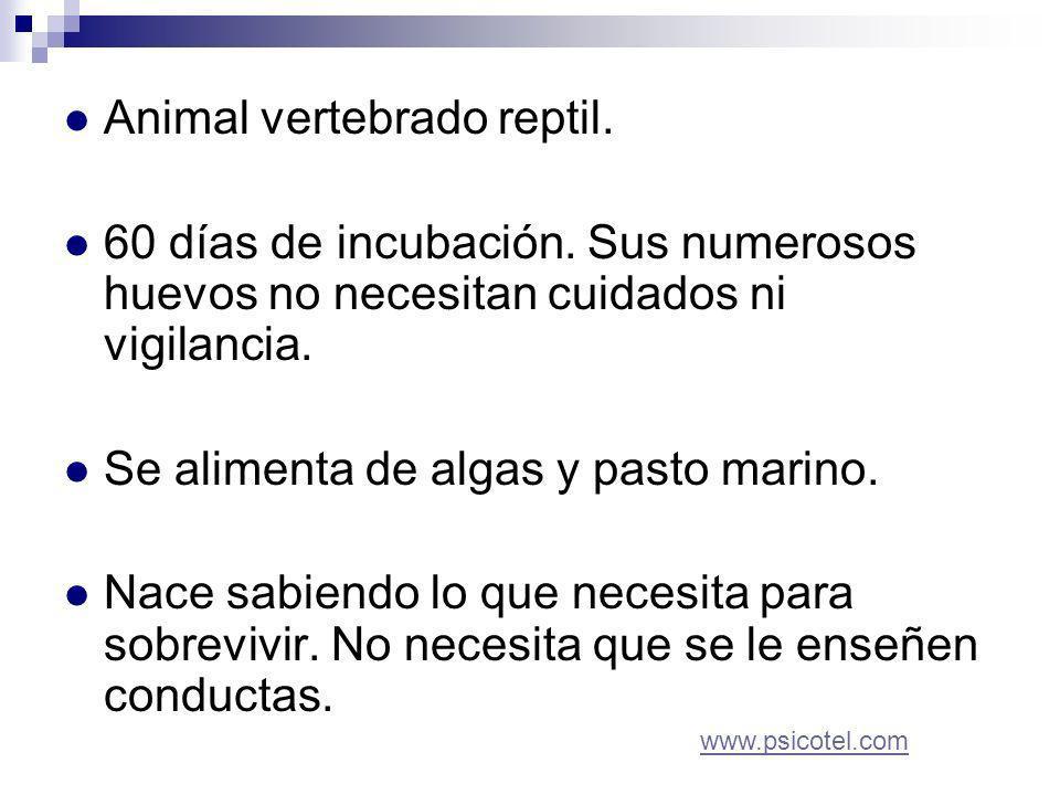 Animal vertebrado reptil. 60 días de incubación.