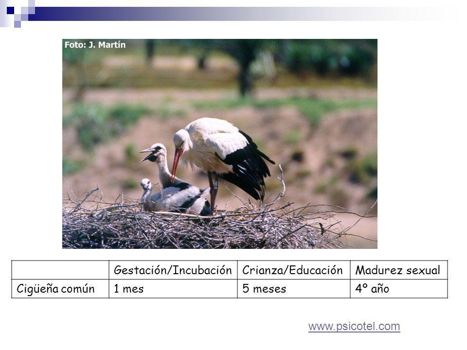 Gestación/IncubaciónCrianza/EducaciónMadurez sexual Cigüeña común1 mes5 meses4º año www.psicotel.com