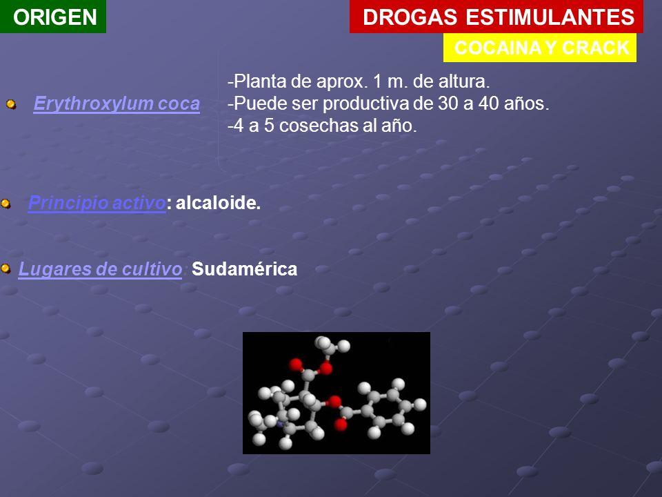 DROGAS ESTIMULANTES COCAINA Y CRACK ORIGEN Erythroxylum coca -Planta de aprox. 1 m. de altura. -Puede ser productiva de 30 a 40 años. -4 a 5 cosechas