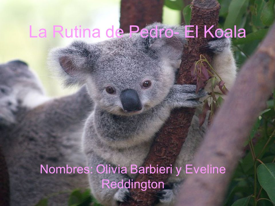 La Rutina de Pedro- El Koala Nombres: Olivia Barbieri y Eveline Reddington