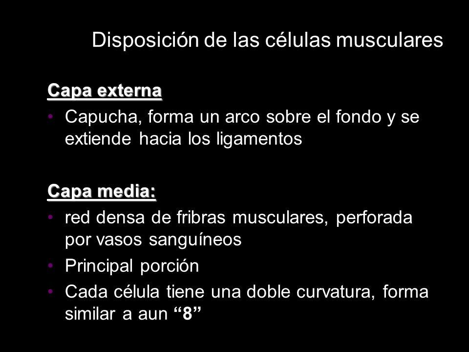 Disposición de las células musculares Capa externa Capucha, forma un arco sobre el fondo y se extiende hacia los ligamentos Capa media: red densa de f