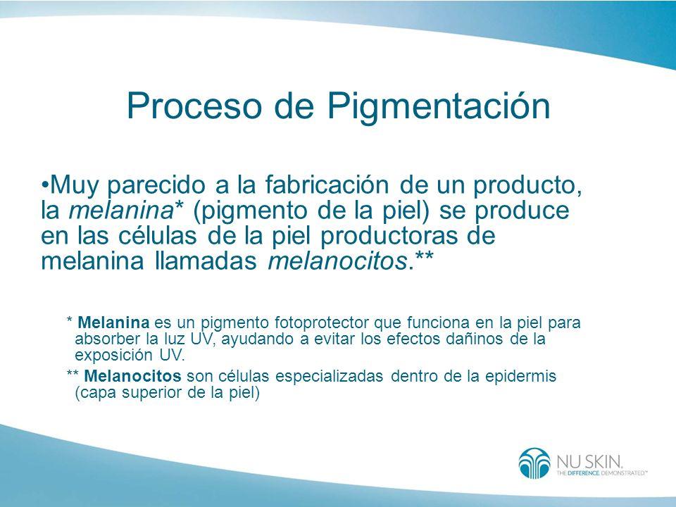 Proceso de Pigmentación Muy parecido a la fabricación de un producto, la melanina* (pigmento de la piel) se produce en las células de la piel producto