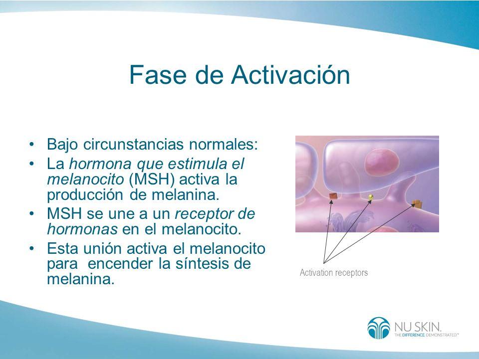 Fase de Activación Bajo circunstancias normales: La hormona que estimula el melanocito (MSH) activa la producción de melanina. MSH se une a un recepto