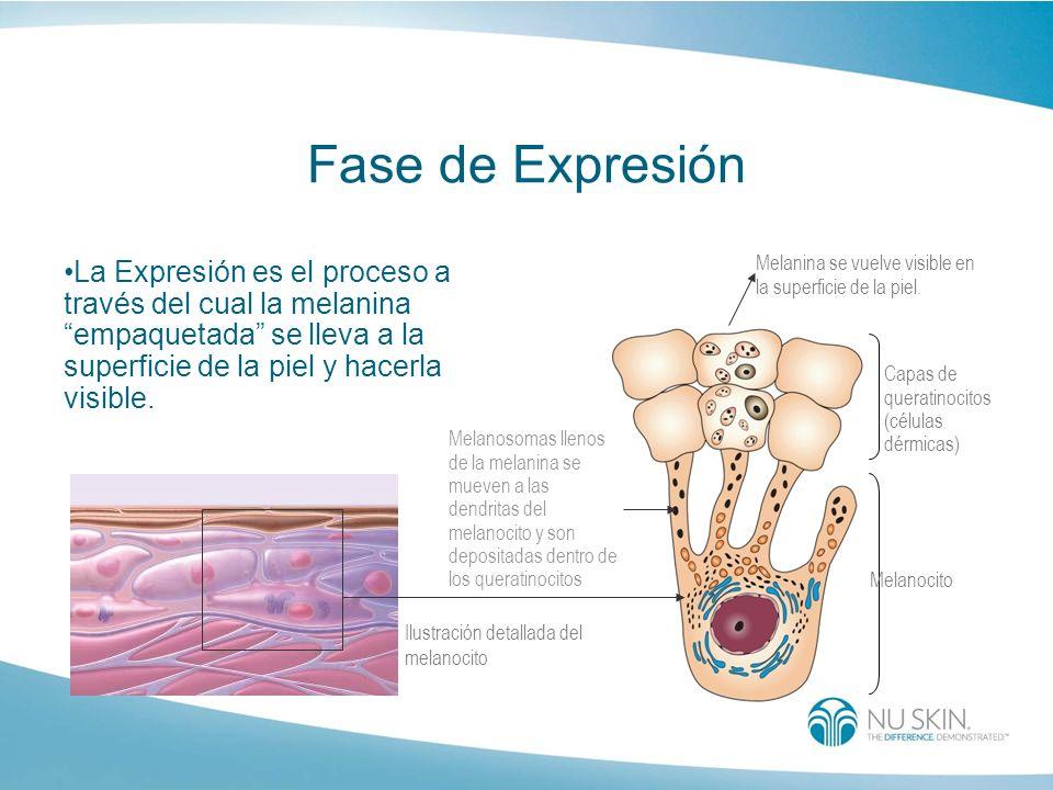 Fase de Expresión La Expresión es el proceso a través del cual la melaninaempaquetada se lleva a la superficie de la piel y hacerla visible. Melanina