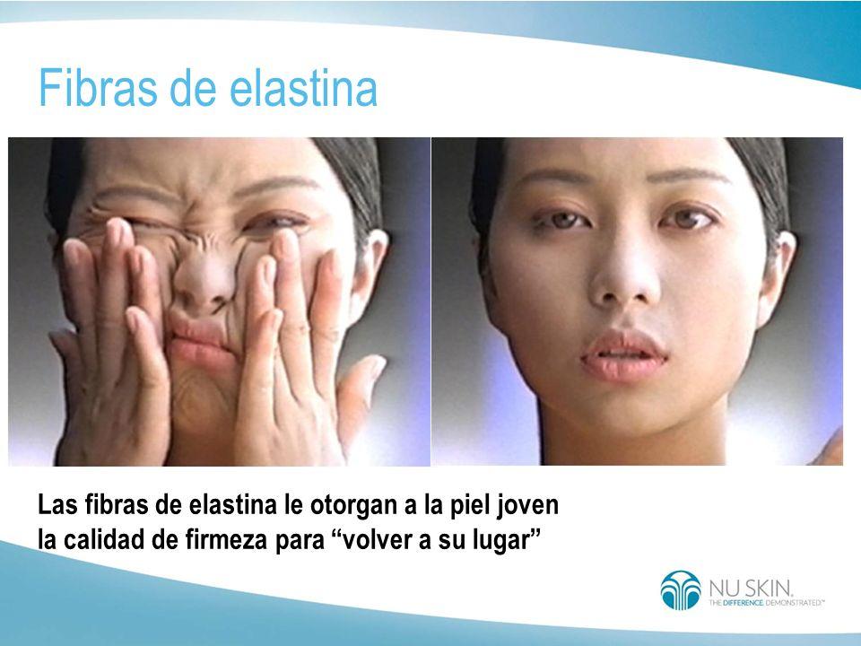 estructura de la elastina Fibras de elastina en la piel Una proteína fibrosa Importante proteína de la juventud Le otorga elasticidad a la piel Dandol