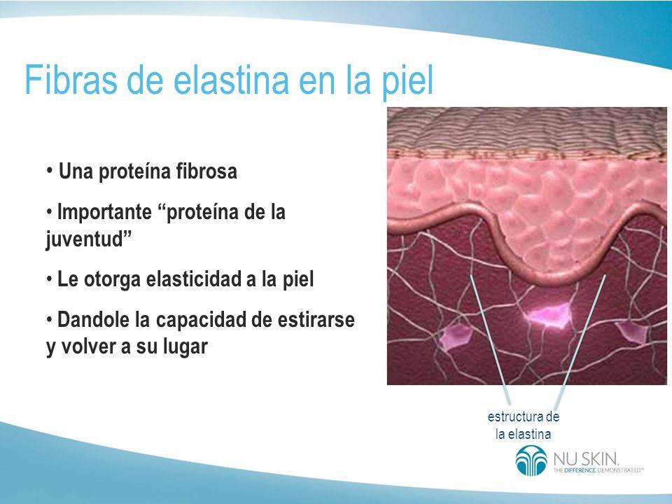 estructura de la elastina Fibras de elastina en la piel Una proteína fibrosa Importante proteína de la juventud Le otorga elasticidad a la piel Dandole la capacidad de estirarse y volver a su lugar
