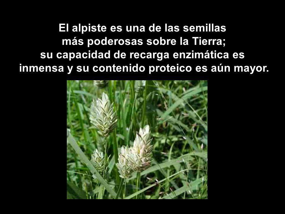 El alpiste es una de las semillas más poderosas sobre la Tierra; su capacidad de recarga enzimática es inmensa y su contenido proteico es aún mayor.