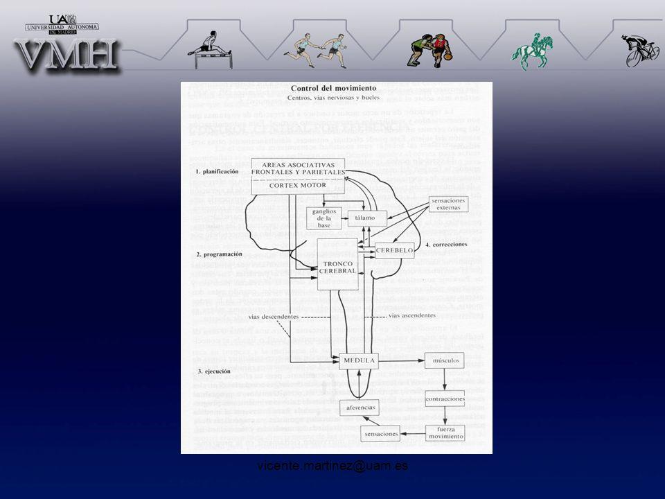 Aferencias sensoriales Teleceptores –Ojos –Oídos –Olfato Exteroceptores (receptores cutáneos) –Vibración (corpúsculo Paccini) –Tacto (Corpúsculo de Mesner y y disco de Merkel) –Presión (terminaciones de Ruffini) –Termoreceptores
