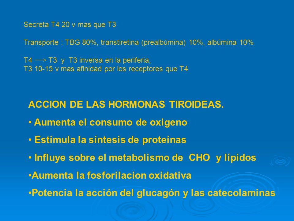 Secreta T4 20 v mas que T3 Transporte : TBG 80%, transtiretina (prealbúmina) 10%, albúmina 10% T4 T3 y T3 inversa en la periferia, T3 10-15 v mas afinidad por los receptores que T4 ACCION DE LAS HORMONAS TIROIDEAS.