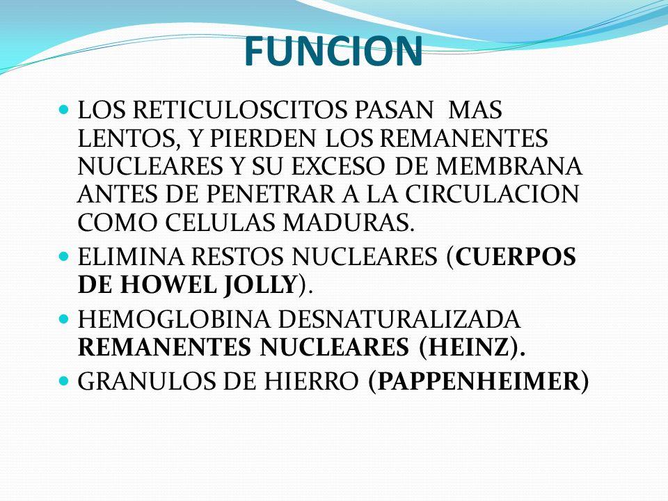 FUNCION LOS RETICULOSCITOS PASAN MAS LENTOS, Y PIERDEN LOS REMANENTES NUCLEARES Y SU EXCESO DE MEMBRANA ANTES DE PENETRAR A LA CIRCULACION COMO CELULA