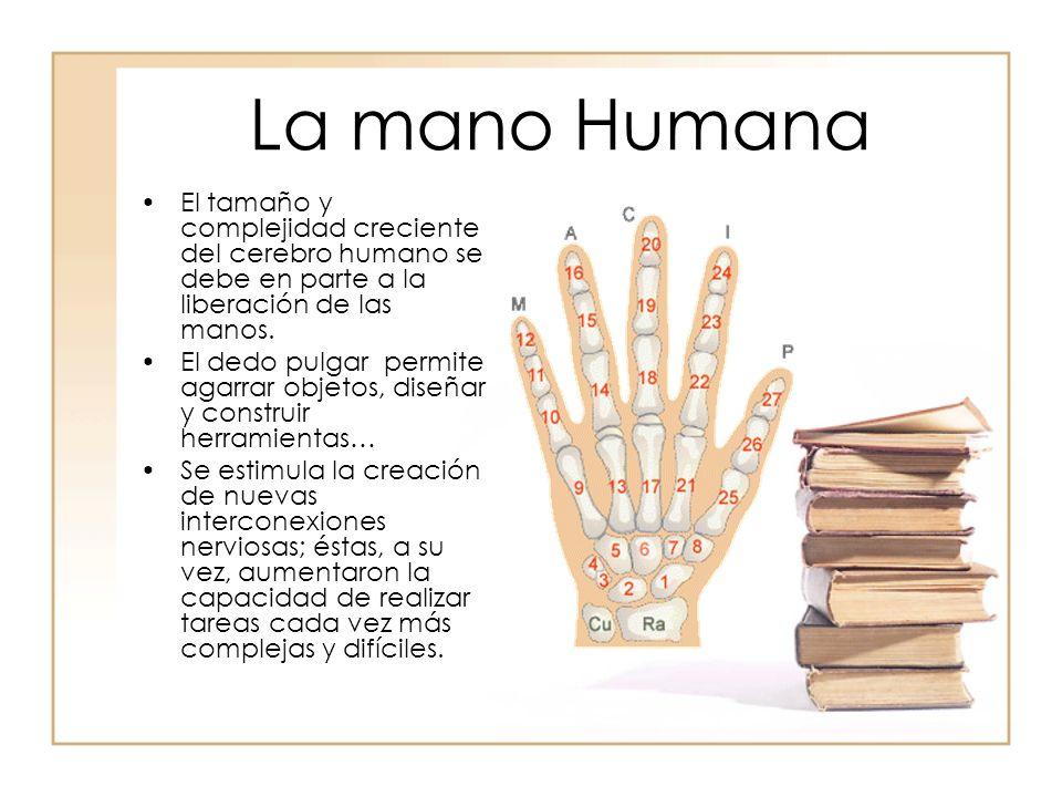 La mano Humana El tamaño y complejidad creciente del cerebro humano se debe en parte a la liberación de las manos. El dedo pulgar permite agarrar obje