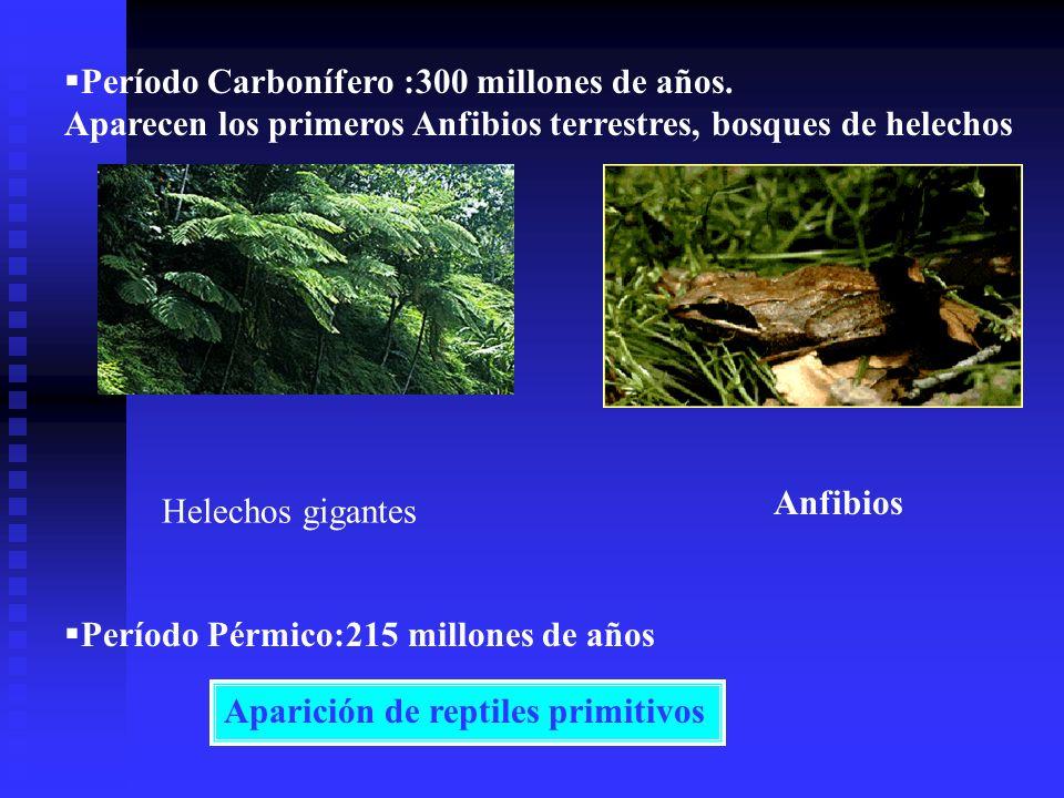 Período Carbonífero :300 millones de años. Aparecen los primeros Anfibios terrestres, bosques de helechos Período Pérmico:215 millones de años Aparici
