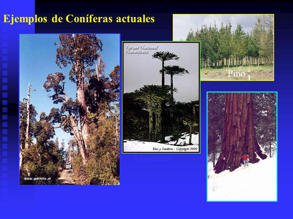 Ejemplos de Coníferas actuales Alerce Araucaria Pino Sequoia