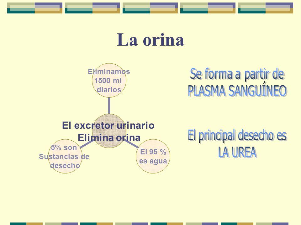 La orina El excretor urinario Elimina orina Eliminamos 1500 ml diarios El 95 % es agua 5% son Sustancias de desecho