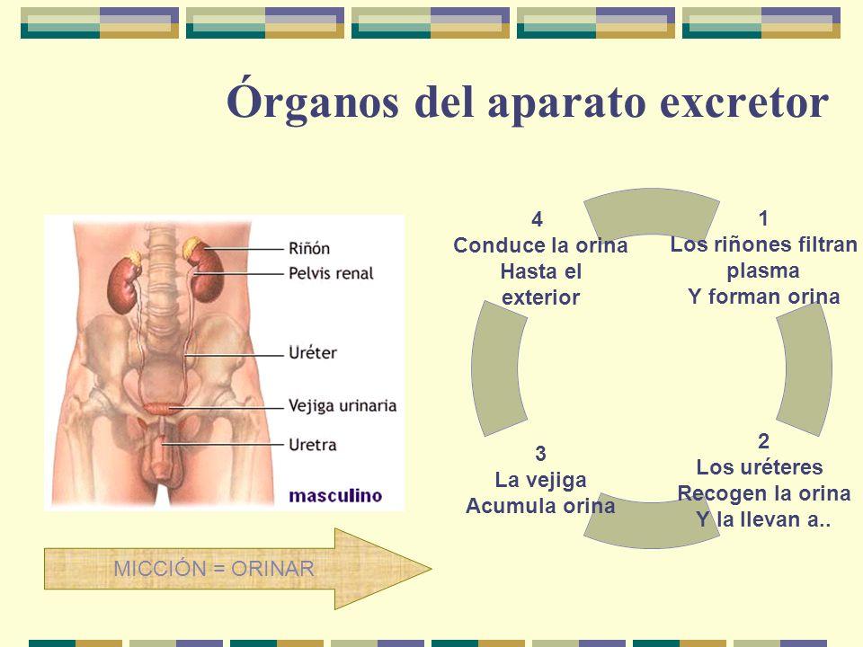 Órganos del aparato excretor 1 Los riñones filtran plasma Y forman orina 2 Los uréteres Recogen la orina Y la llevan a.. 3 La vejiga Acumula orina 4 C