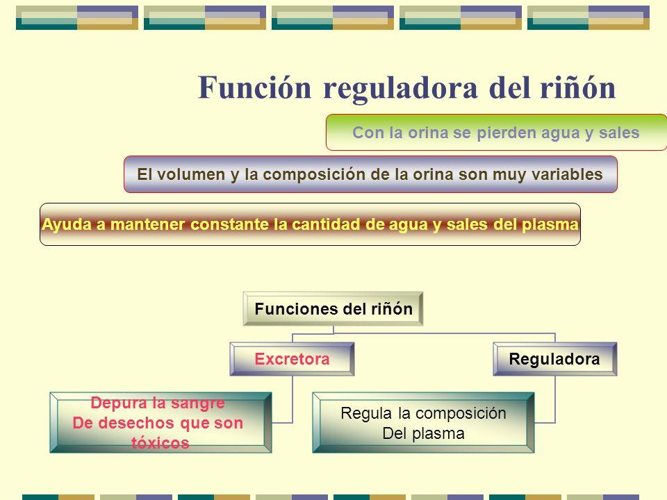 Función reguladora del riñón Funciones del riñón Excretora Depura la sangre De desechos que son tóxicos Reguladora Regula la composición Del plasma Co