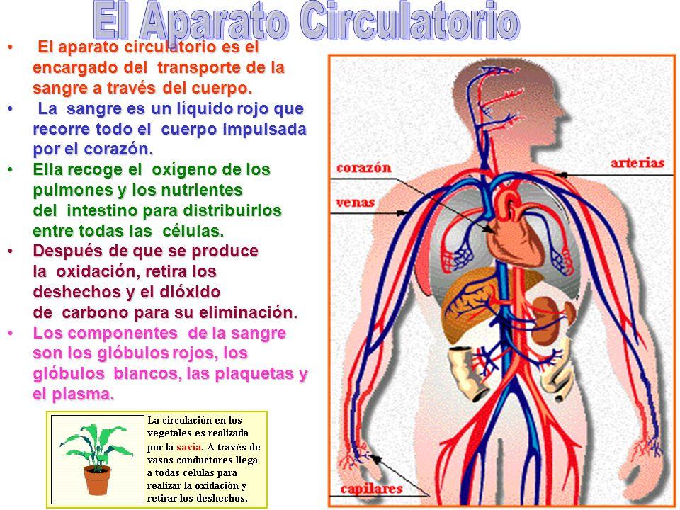 1 El aparato circulatorio es el encargado del transporte de la sangre a través del cuerpo.