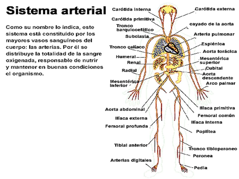Las arterias llevan la sangre desde el corazón hasta los capilares de los distintos tejidos del cuerpoLas arterias llevan la sangre desde el corazón h