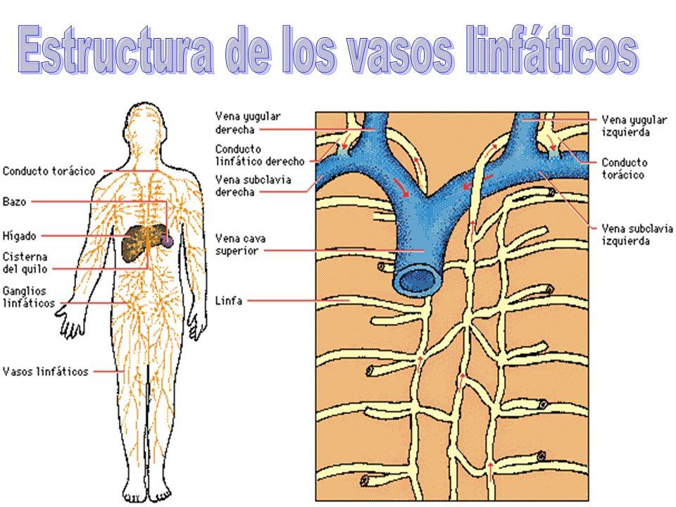 16 La linfa es un líquido incoloro formado por plasma sanguíneo y por glóbulos blancos, en realidad es la parte de la sangre que se escapa o sobra de