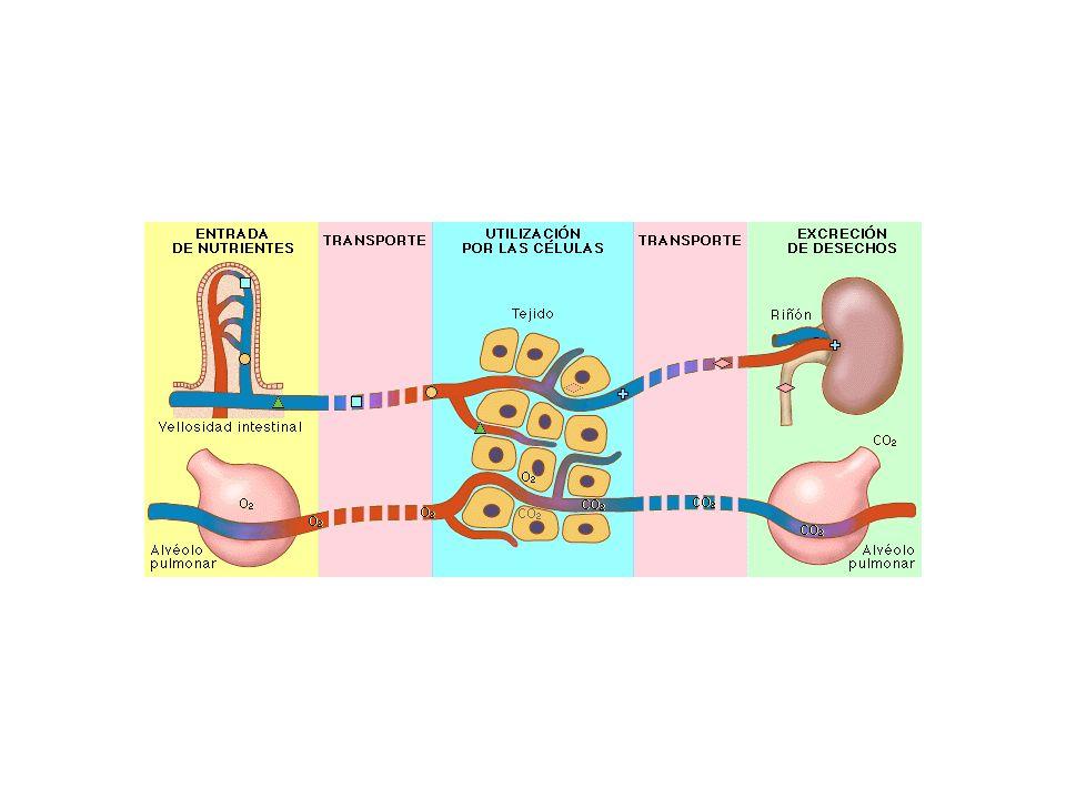 El corazón y los capilares sanguíneos Como una bomba, el corazón impulsa la sangre por todo el organismo, realizando su trabajo en fases sucesivas. co