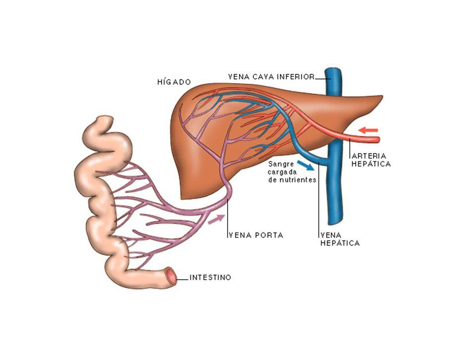 La aorta se divide en una serie de ramas principales que a su vez se ramifican en otras más pequeñas, de modo que todo el organismo recibe la sangre a
