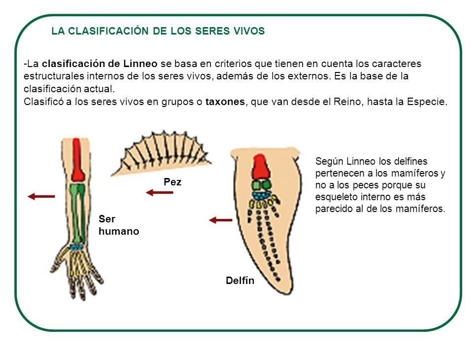 LA CLASIFICACIÓN DE LOS SERES VIVOS -La clasificación de Linneo se basa en criterios que tienen en cuenta los caracteres estructurales internos de los