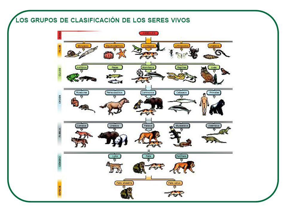 LOS GRUPOS DE CLASIFICACIÓN DE LOS SERES VIVOS GÉNERO ESPECIE Cánidos Roedores MoluscosEquinodermosCordados ANIMALES ArtrópodosAnélidos REINO FILUM CL