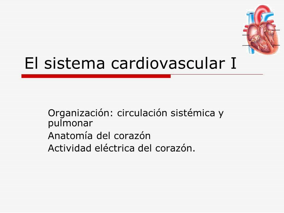 El sistema cardiovascular I Organización: circulación sistémica y pulmonar Anatomía del corazón Actividad eléctrica del corazón.