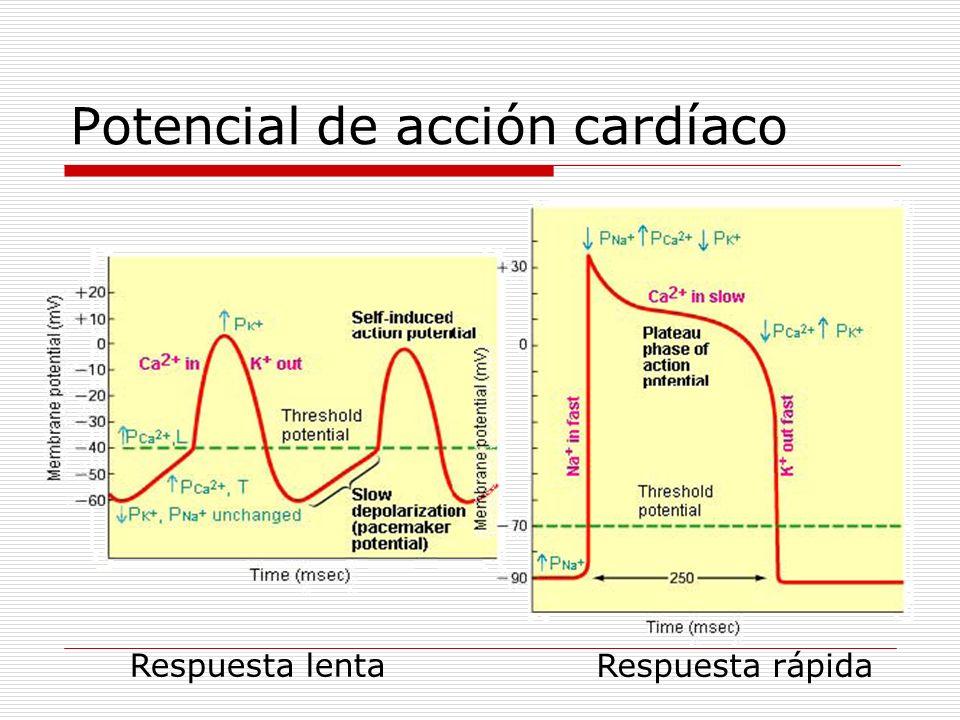 Potencial de acción cardíaco Respuesta lenta Respuesta rápida