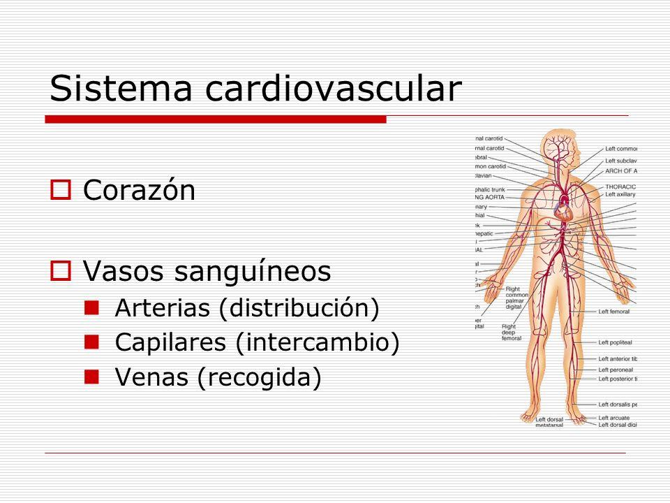 Sistema cardiovascular Corazón Vasos sanguíneos Arterias (distribución) Capilares (intercambio) Venas (recogida)