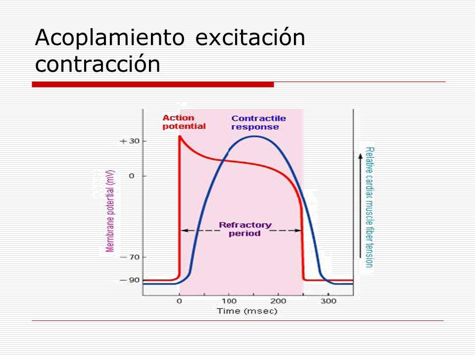 Acoplamiento excitación contracción