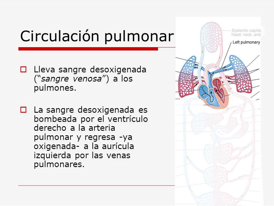 Circulación pulmonar Lleva sangre desoxigenada (sangre venosa) a los pulmones. La sangre desoxigenada es bombeada por el ventrículo derecho a la arter
