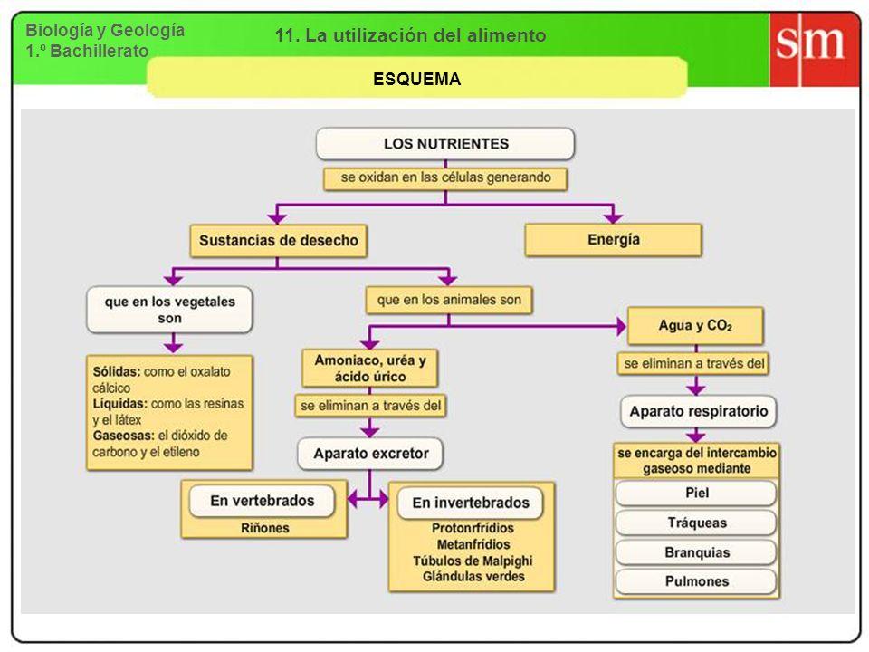 Biología y Geología 1.º Bachillerato 11. La utilización del alimento ESQUEMA