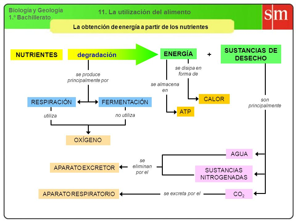 Biología y Geología 1.º Bachillerato 11. La utilización del alimento La obtención de energía a partir de los nutrientes se produce principalmente por