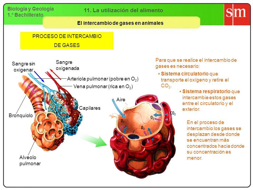 Biología y Geología 1.º Bachillerato 11. La utilización del alimento El intercambio de gases en animales PROCESO DE INTERCAMBIO DE GASES Para que se r